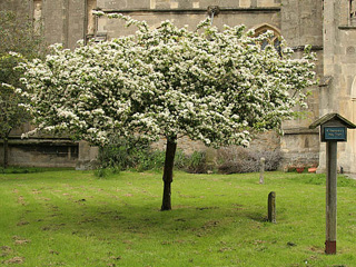 Holy Thorn in Blossom